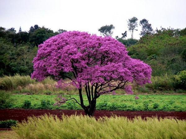 кора муравьиного дерева при лямблиозе