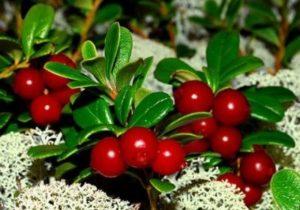 лекарственные растения при мочекаменной болезни