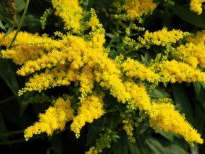 золотая розга при мочекаменной болезни